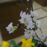 講壇花 桜